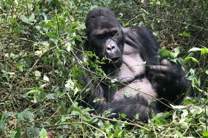 Gorilla Trekking in Virunga National Park Congo