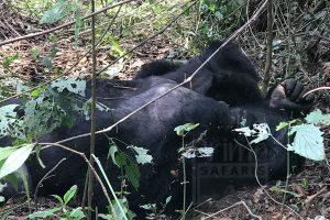 3 Days Lowland Gorilla Safari in Congo