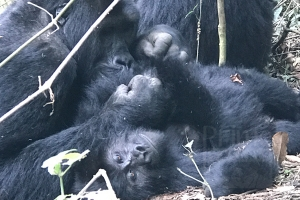 4 Days Gorilla Trek and Nyiragongo Volcano Hike in Congo