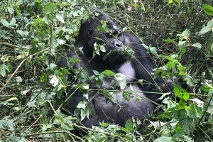 Attractions in Virunga National Park, Congo gorilla trekking safari, tour Congo