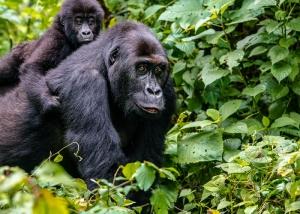 Virunga National Park Gorillas
