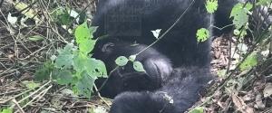 5 Days Congo gorilla safari Virunga & Uganda wildlife safari in Queen Elizabeth