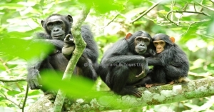 8 days wildlife tour in Uganda & gorilla safari Congo