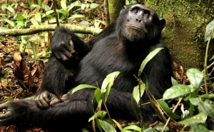 Chimpanzee Habituation Walks in Virunga