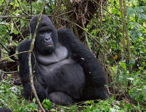 How Do You Know Gorillas Ready For Mating During Your Uganda Rwanda Congo Gorilla Safari Tour
