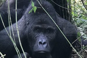 4 Days Gorilla Safari in Uganda
