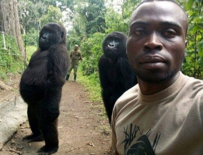 Orphaned Gorillas pose for selfie with anti-Poaching rangers in Congo -Congo Safari News