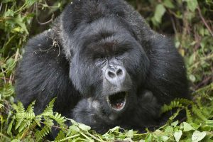 Gorillas hum and sing