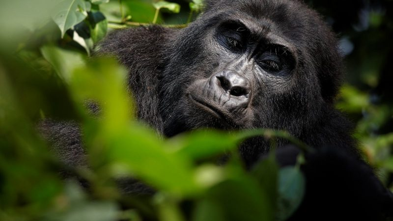 Mountain Gorilla Social structure