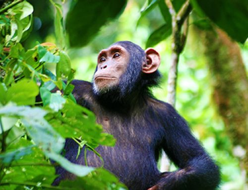 Updates About Virunga's Chimpanzee Habituation Experiences in Congo
